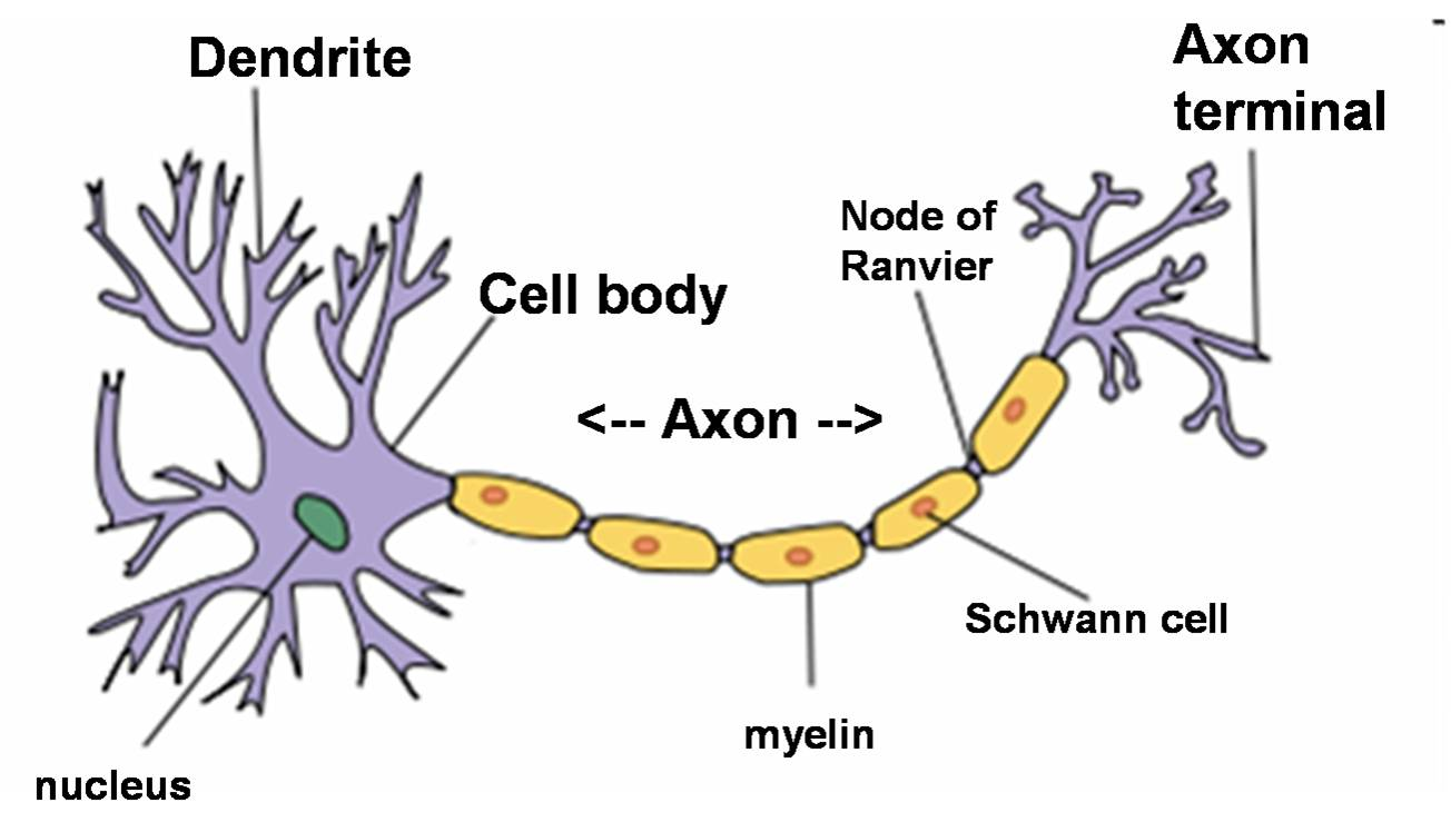 Generalized nerve cell diagram electrical drawing wiring diagram generalized nerve cell diagram images gallery ccuart Gallery